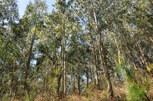 imagen de Plantación de eucaliptos en Okondo, Alava. FOTO: Maider Iglesias