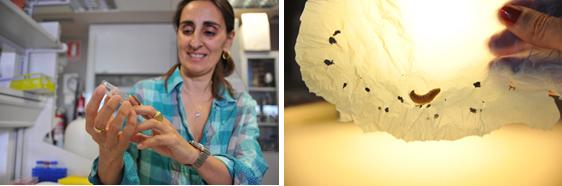 imagen de (Izq.) La investigadora del CSIC Federica Bertocchini con un gusano de la cera. (Dcha.) Trozo de bolsa de plástico de polietileno biodegradado por 10 gusanos en 30 minutos. César Hernández / CSIC Comunicación