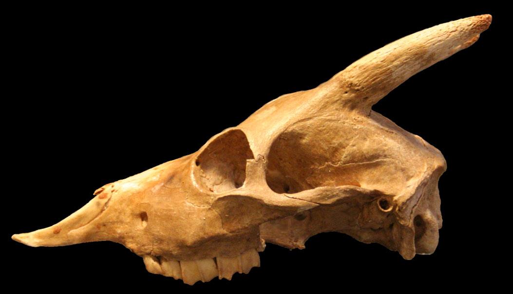 imagen de Cráneo de 'Myotragus balearicus' procedente de la Cova Genovesa (Manacor, Mallorca). / CSIC