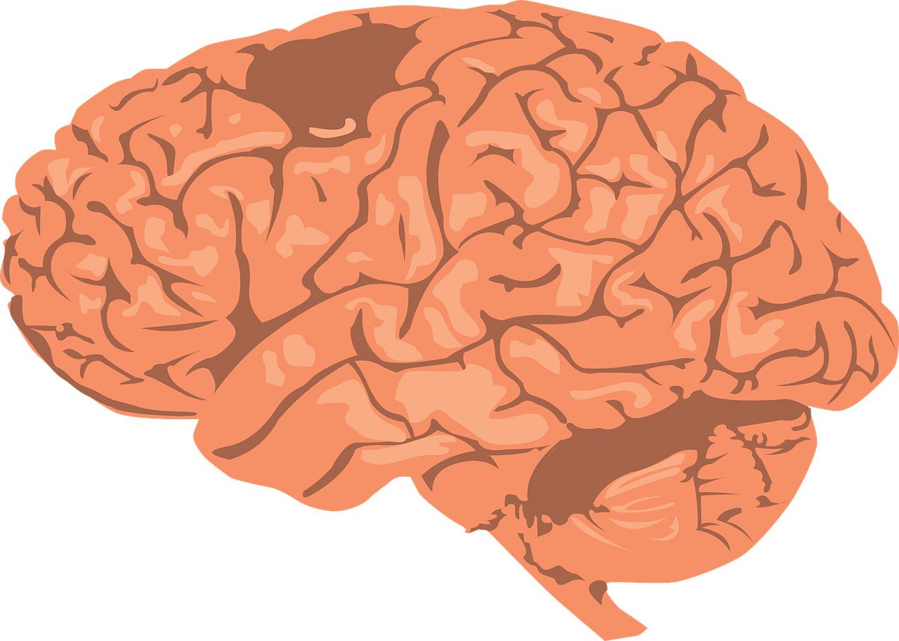 imagen de Cerebro. /Pixabay