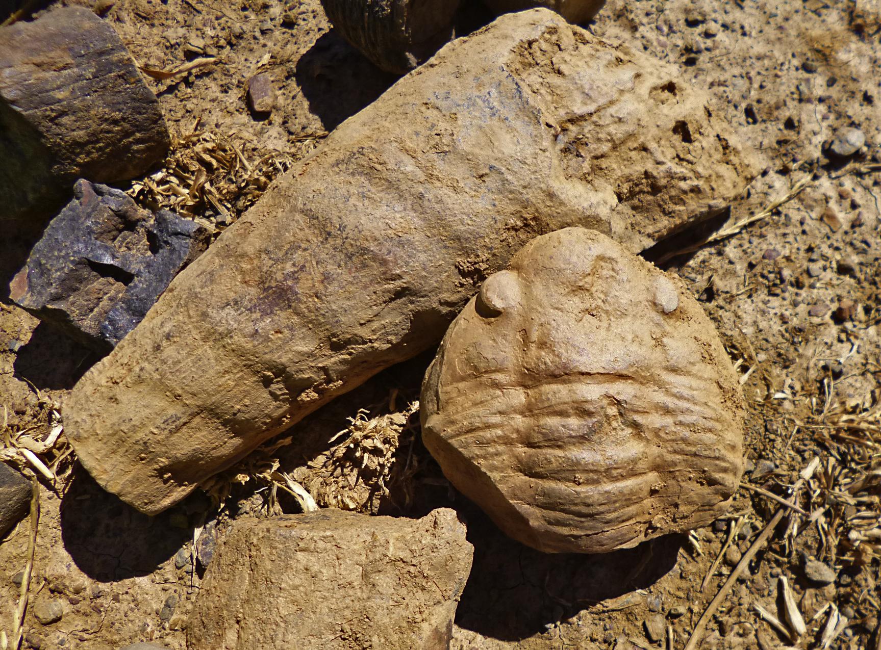 imagen de El estudio de decenas de fragmentos de este raro fósil ha servido para caracterizar un nuevo género y especie de un cefalópodo fósil.