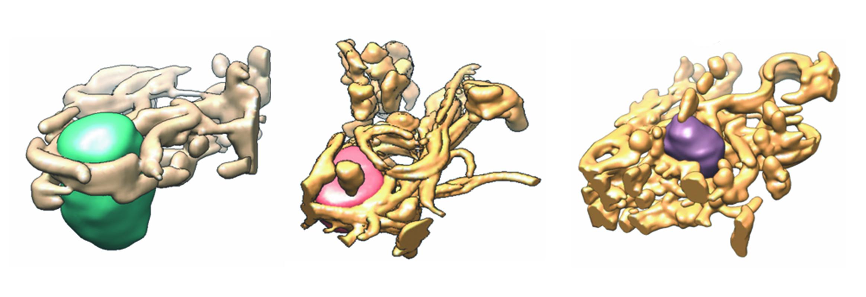 imagen de Reconstrucciones tridimensionales de regiones citoplasmáticas de células control (izquierda) y dos modelos celulares de infección por el virus de la hepatitis C (centro y derecha)./ Ana Pérez-Berna (ALBA).