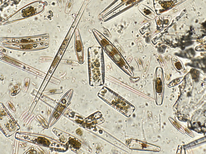 imagen de Estas algas unicelulares son el análogo oceánico de eucaliptos y secuoyas. / CSIC-Catarata
