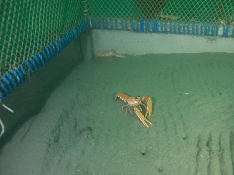 imagen de Imagen de varias cigalas captada por el proyecto Smart Lobster. / Smart Lobster