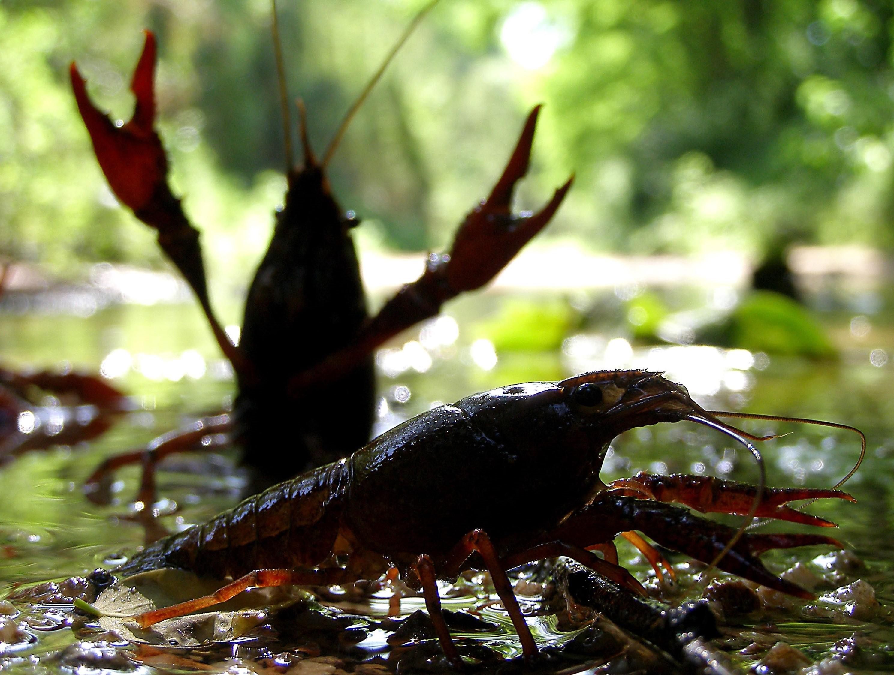 imagen de Ejemplares de cangrejo rojo americano. / Miguel Clavero