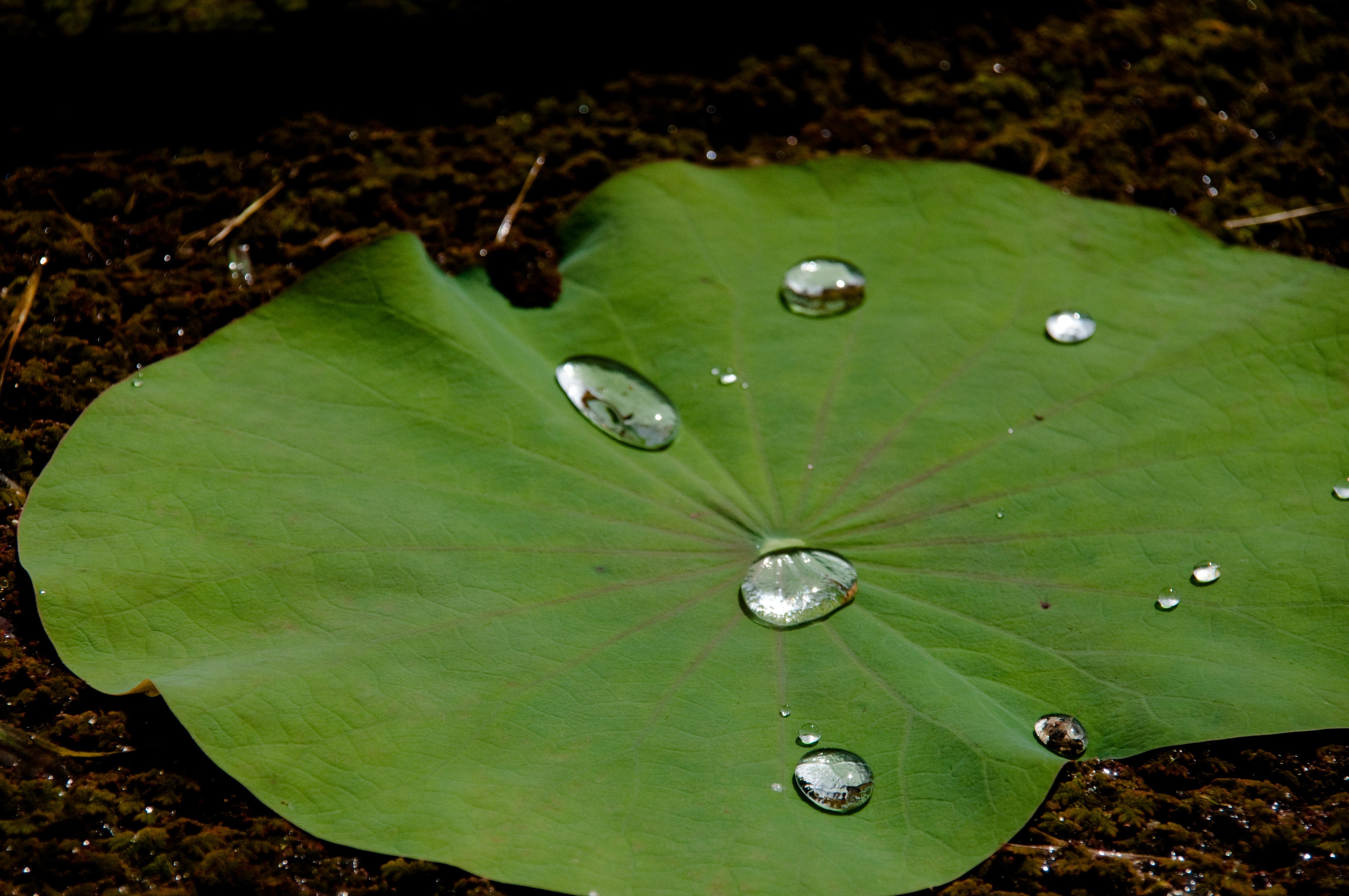 imagen de Hoja de flor de loto con gotas de agua en su superficie. / GJ Bulte