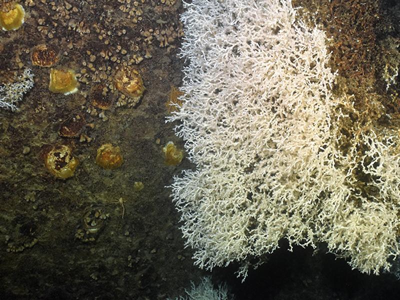 imagen de Una pared del cañón de Blanes cubierta de coral. Foto: ICM/CSIC- proyecto Abric