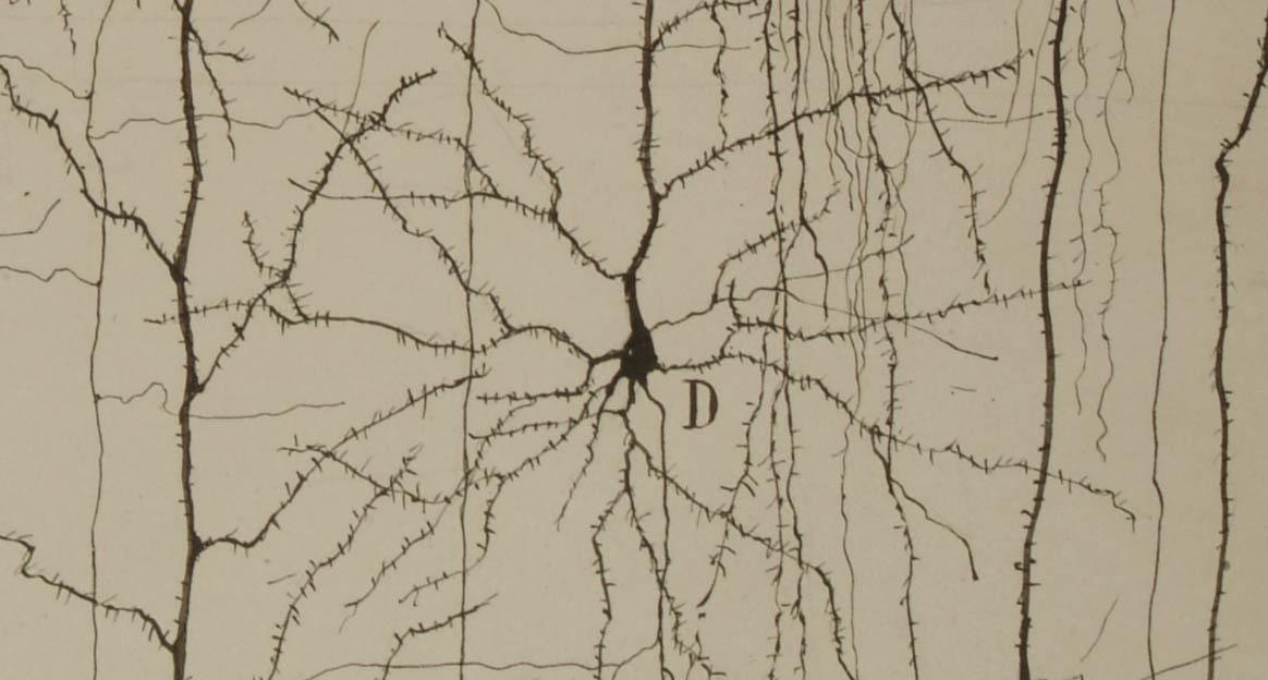 imagen de Dibujo de Ramón y Cajal que describe la estructura de una neurona del córtex cerebral. / Legado Cajal