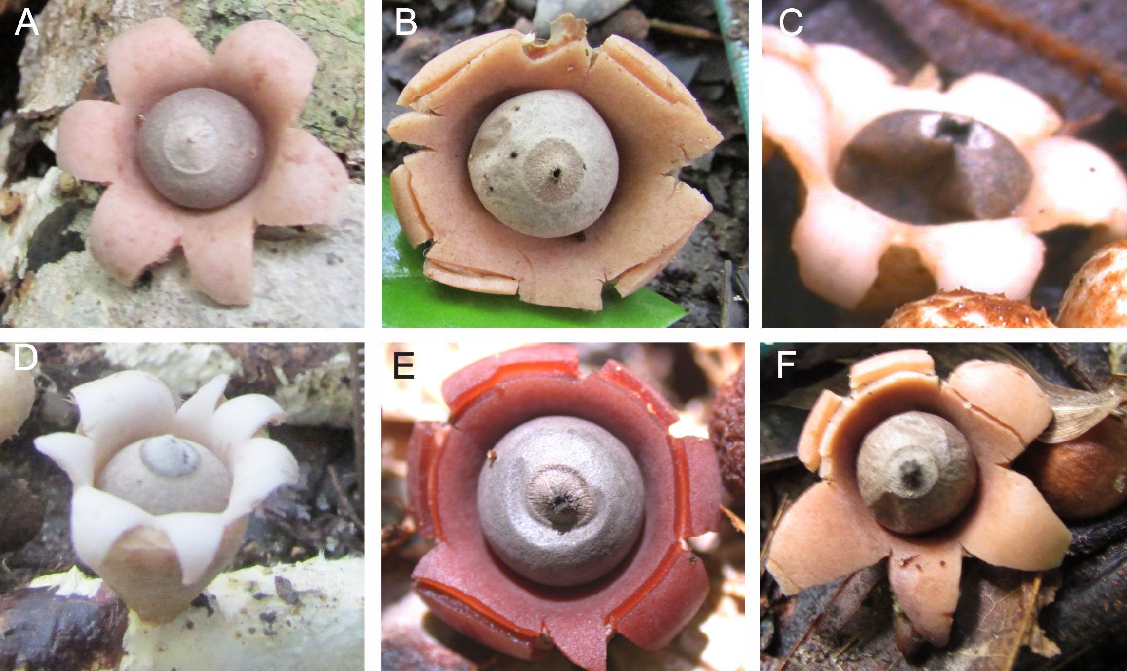 imagen de Cuerpos fructíferos de las seis especies nuevas. A) Geastrum baculycristallum, B) G. brunneocapillatum, C) G. courtecuisse, D) G. neoamericanum, E) G. rubellum, F) G. rubropusillum. / J.O. Sousa