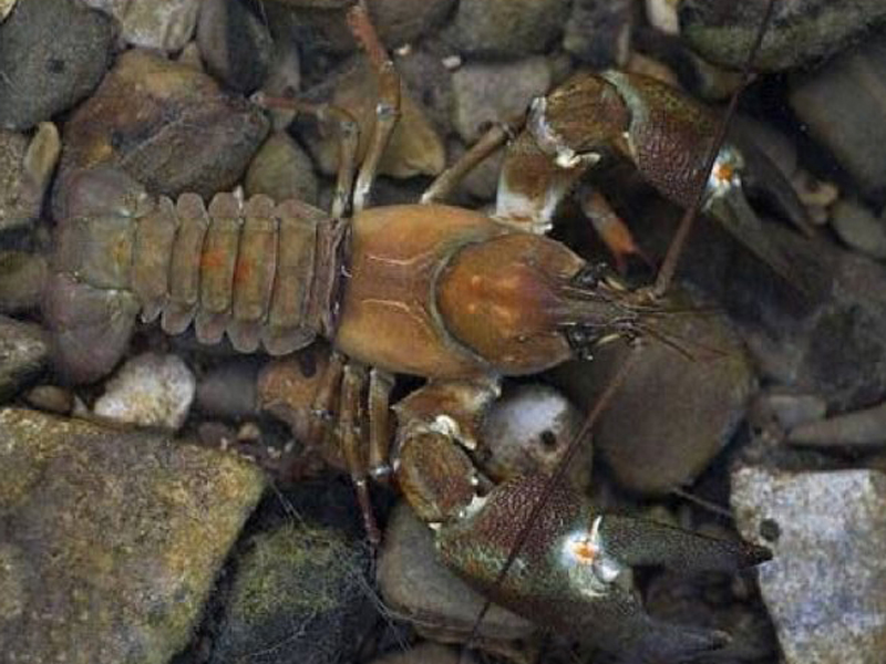 imagen de Ejemplar del cangrejo señal, especie de cangrejo de río invasora. / RJB