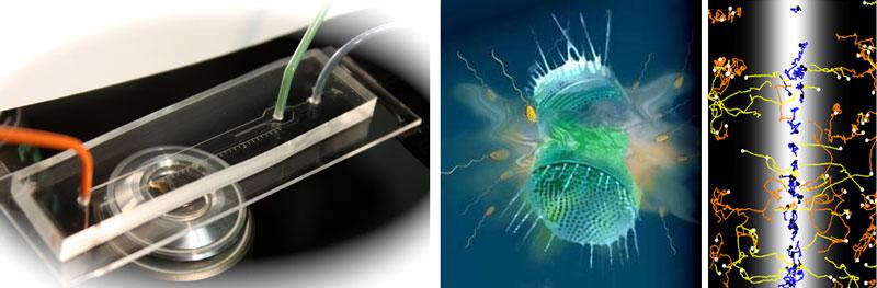 imagen de Figura 1 - Sistema de experimentación microfluídica para observar el comportamiento natatorio del plancton. Fotografía de R. Stocker, MIT.  Figura 2 - Recreación de la lisis de un alga microscópica, y la respuesta de las bacterias a la liberación de sustancias orgánicas. Dibujo de Gorick, Stocker y Seymour. Figura 3 - Seguimiento de las trayectorias de natación de el protozoo Oxyrrhis marina al verse atraido por la presencia de DMSP (banda central blanca). Cada linea muestra 7 segundos de natación de una célula. Las líneas naranjas corresponden a trayectorias al azar; las amarillas corresponden a individuos que nadaron hacia la sustancia; las azules corresponden a individuos que ya se encontraban en contacto con la sustancia y aumentaron su frecuencia de giro para quedarse en contacto con ella. Análisis de imagen de una grabación de video de Stocker, Seymour, Ahmed y Simó.