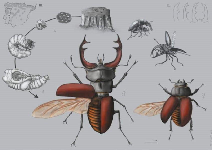imagen de 'Ciervo volante', obra premiada en la categoría ilustración científica de Ilustraciencia 6. / Rita Cortês de Matos