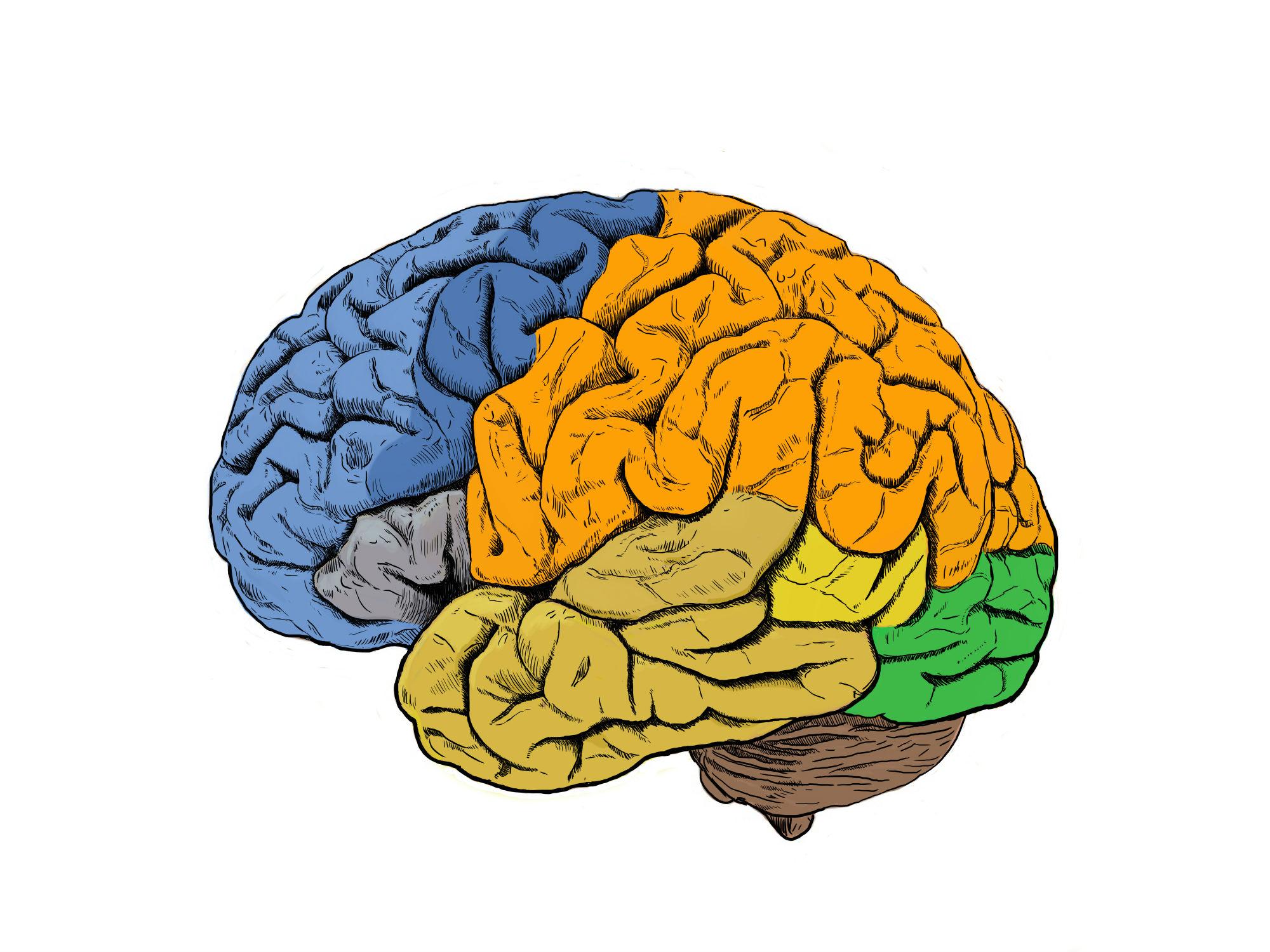 imagen de Las investigaciones se han centrado en áreas motoras (en azul oscuro) y sensoriales (en naranja) de la corteza cerebral. / CSIC