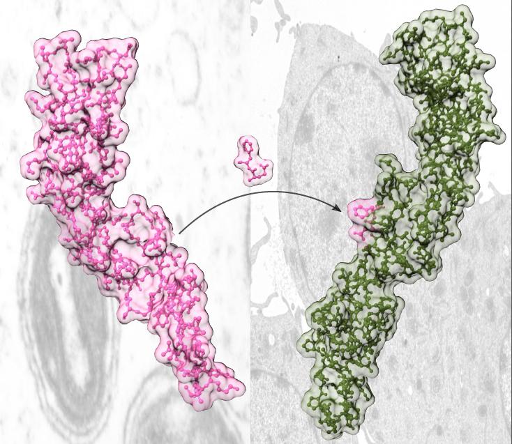 imagen de La transferencia de dos aminoácidos del receptor viral de TNF (rosa) al receptor humano de TNF (verde) cambia las propiedades del receptor humano, que se hace más específico de TNF y pierde la capacidad de inhibir linfotoxina.