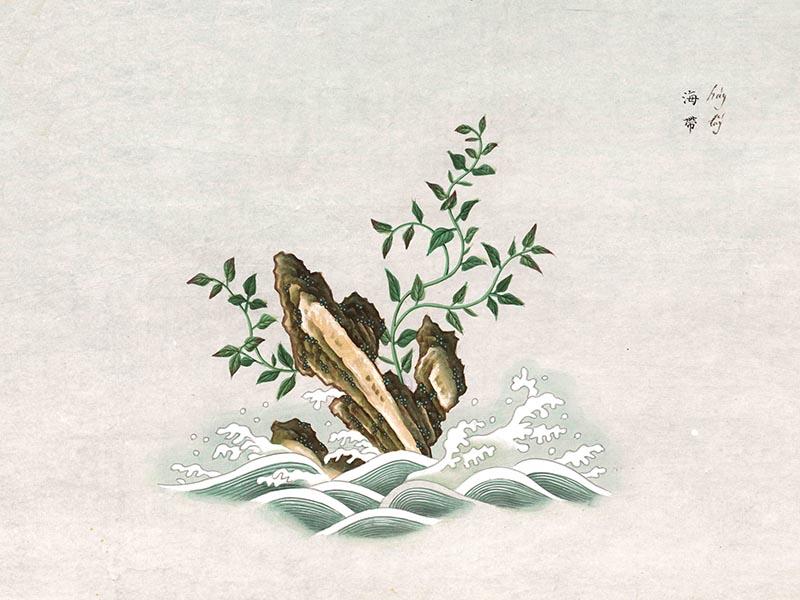 imagen de Laminaria japonica Aresch de la Expedición Filantrópica de la Vacuna. / Archivo del RJB-CSIC