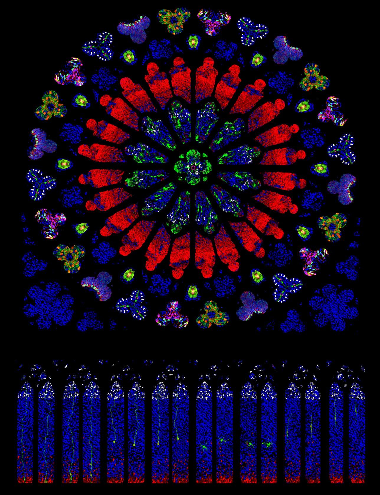 Recreación artística del rosetón norte de la catedral de Notre-Dame de Paris, hecho con neuronas, células progenitoras y otros linajes celulares. / IN (CSIC-UMH)
