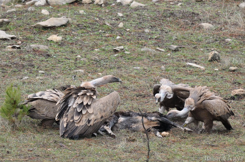 imagen de Varios buitres leonados se alimentan de carroña en la Sierra de Cazorla (Jaén). / Manuel de la Riva
