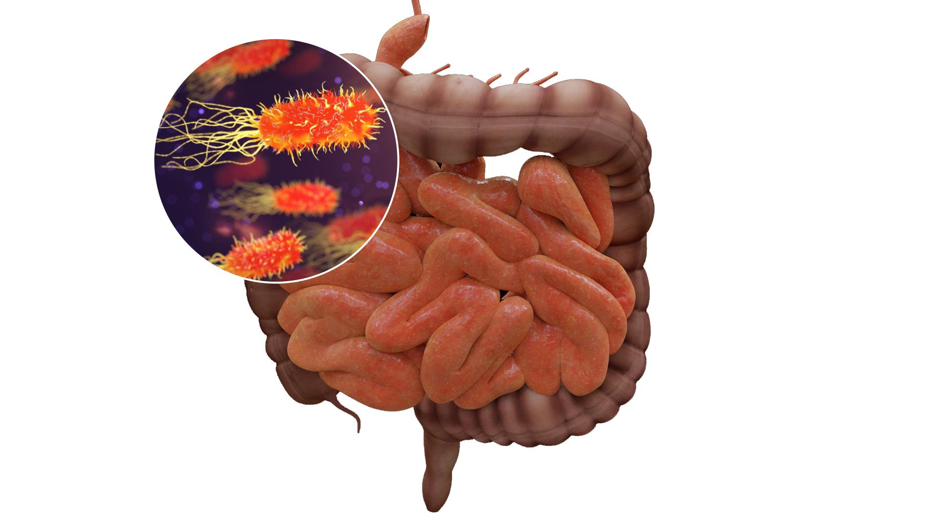 imagen de El microbioma intestinal puede influir en el riesgo de sufrir infecciones y en la respuesta defensiva frente a las mismas. / IATA-CSIC