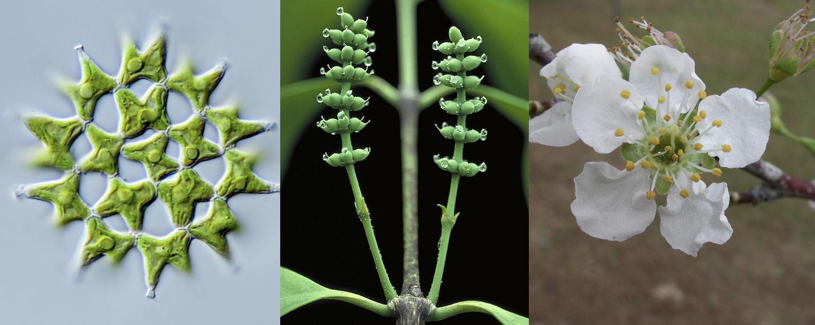 imagen de De izquierda a derecha, alga verde (Lacunastrum gracillimum), conos femeninos de gimnosperma (Gnetum gnemon), y flor de cerezo, (Prunus domestica)./ MICHAEL MELKONIAN/ WALTER S. JUDD