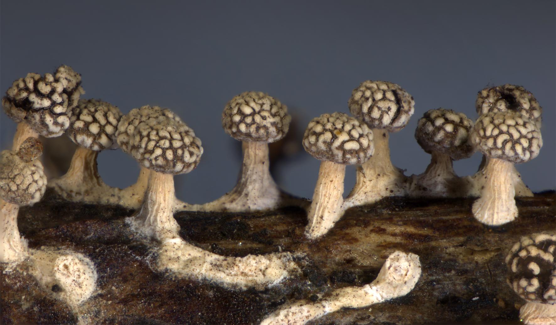 imagen de 'Physarina alboscabra'./ CARLOS DE MIER