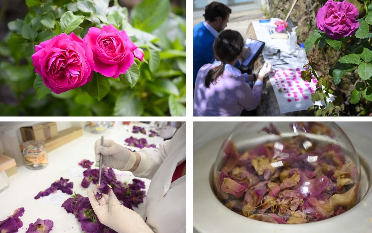 imagen de Científicos del CSIC han seleccionado y mejorado una rosa antigua asturiana que han bautizado con el nombre de Rosa Narcea. / César Hernández / CSIC Comunicación