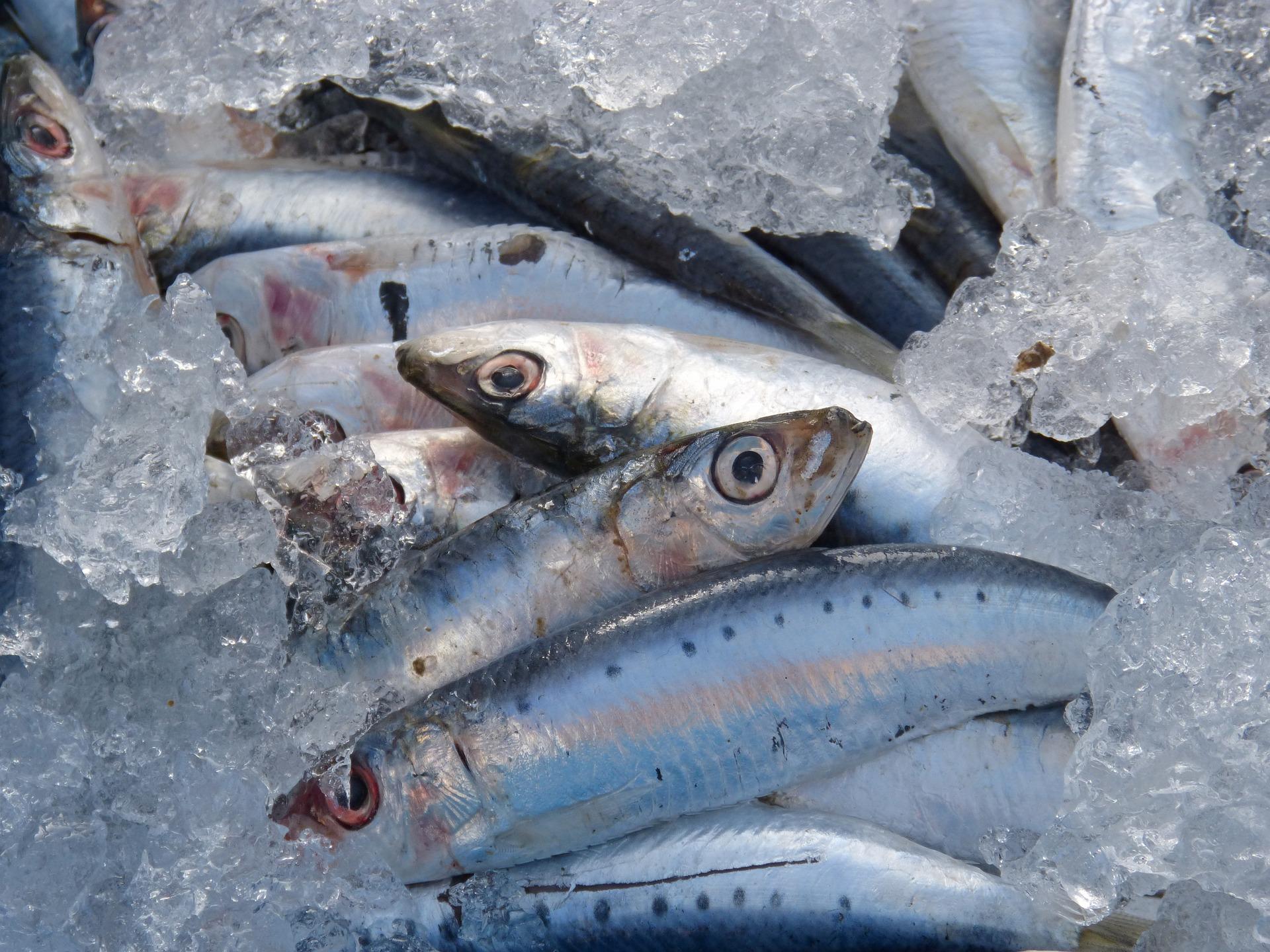 imagen de El 58% de las sardinas del Mediterráneo occidental ha ingerido microplásticos, según un estudio. / Pixabay