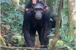 Primates captados por una cámara trampa en la jungla de Guinea Ecuatorial./ MNCN-CSIC