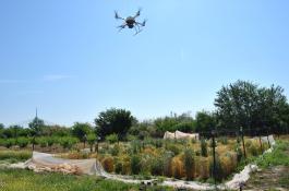 El dron sobrevolando los cultivos durante los experimentos./ IAS-CSIC