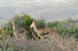 Dos de las gacelas de Cuvier llevadas a Túnez desde España en 2016./ CSIC