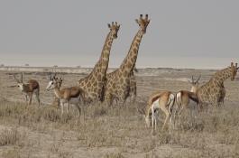 girafas-springboks1.jpg