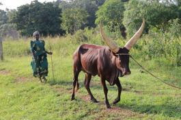 Las enfermedades transmitidas por garrapatas afectan al ganado en Uganda de forma especialmente grave./ CHRISTIAN GORTÁZAR