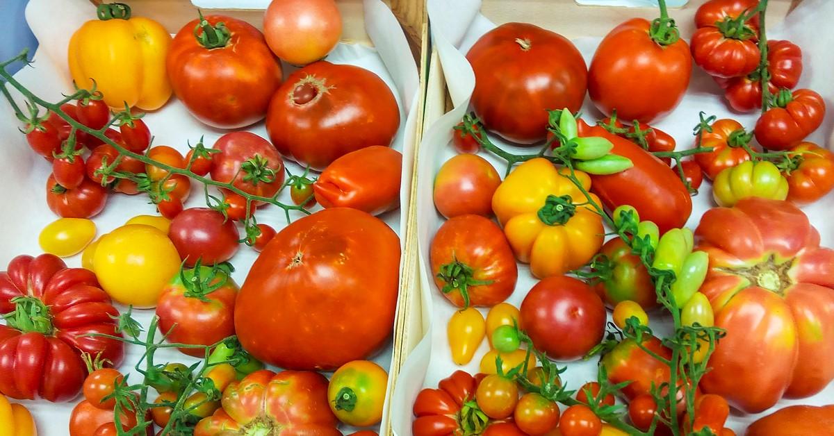 imagen de Tomates de diversas variedades tradicionales. / IBMCP-CSIC-UPV