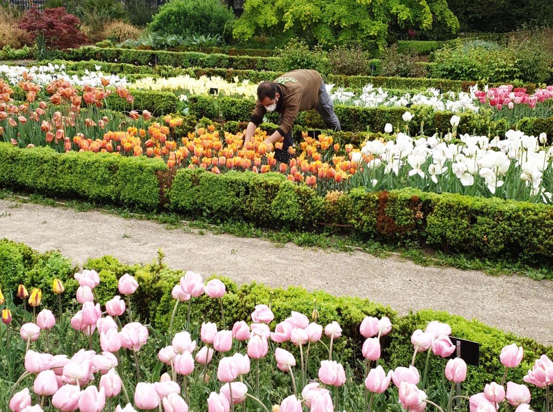 imagen de Personal de la Unidad de Jardinería cortando algunos de los 12.000 tulipanes que han crecido este año en el Real Jardín Botánico de Madrid./ MARIANO SÁNCHEZ