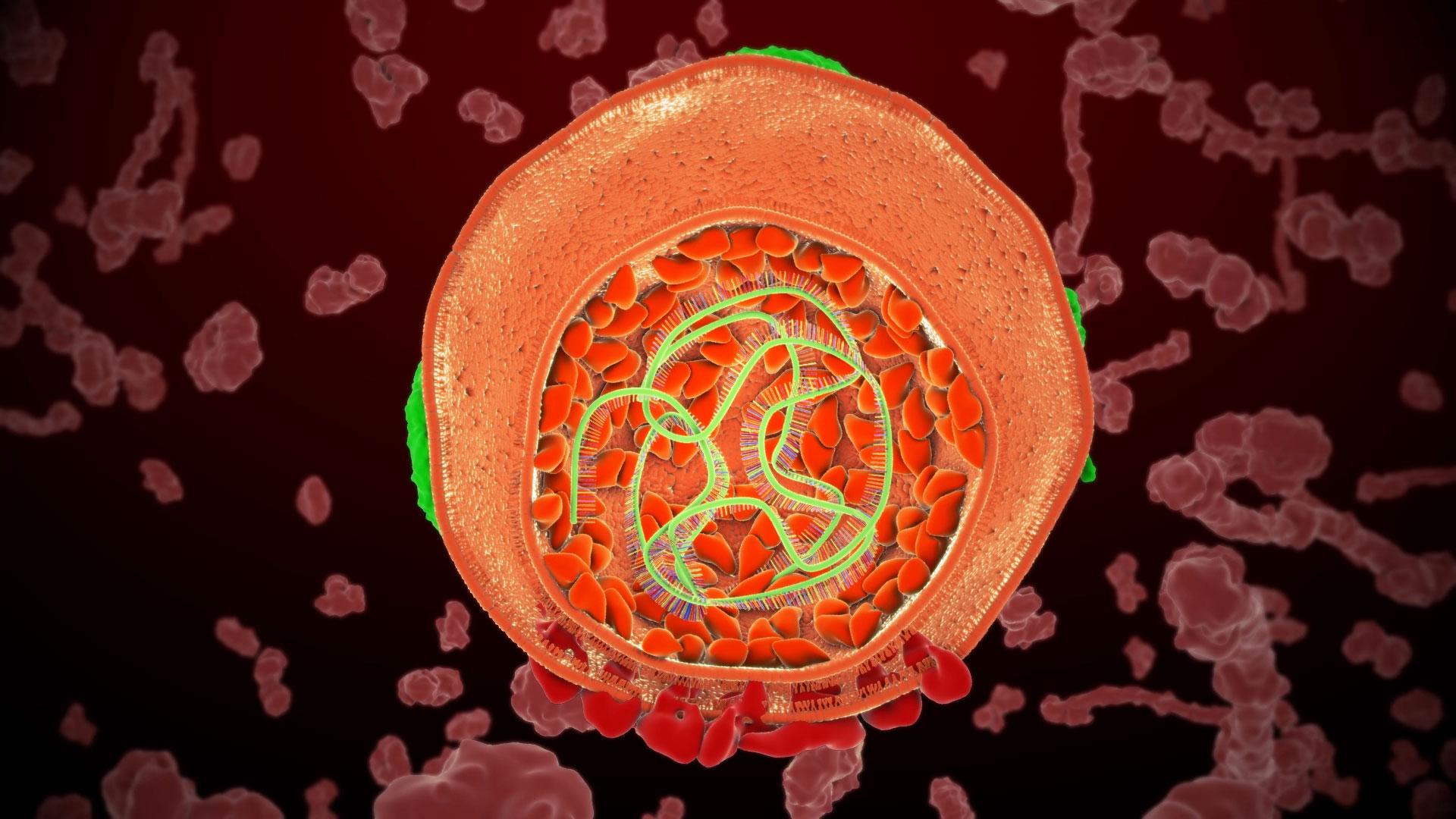imagen de Ciclo de vida del virus de la hepatitis C. / ALIX POULOT