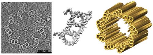 """imagen de Estructura del procentriolo"""". De izquierda a derecha: sección del procentriolo obtenida por crioTE, detalle del triplete de microtúbulos, modelo 3D del centriolo maduro."""