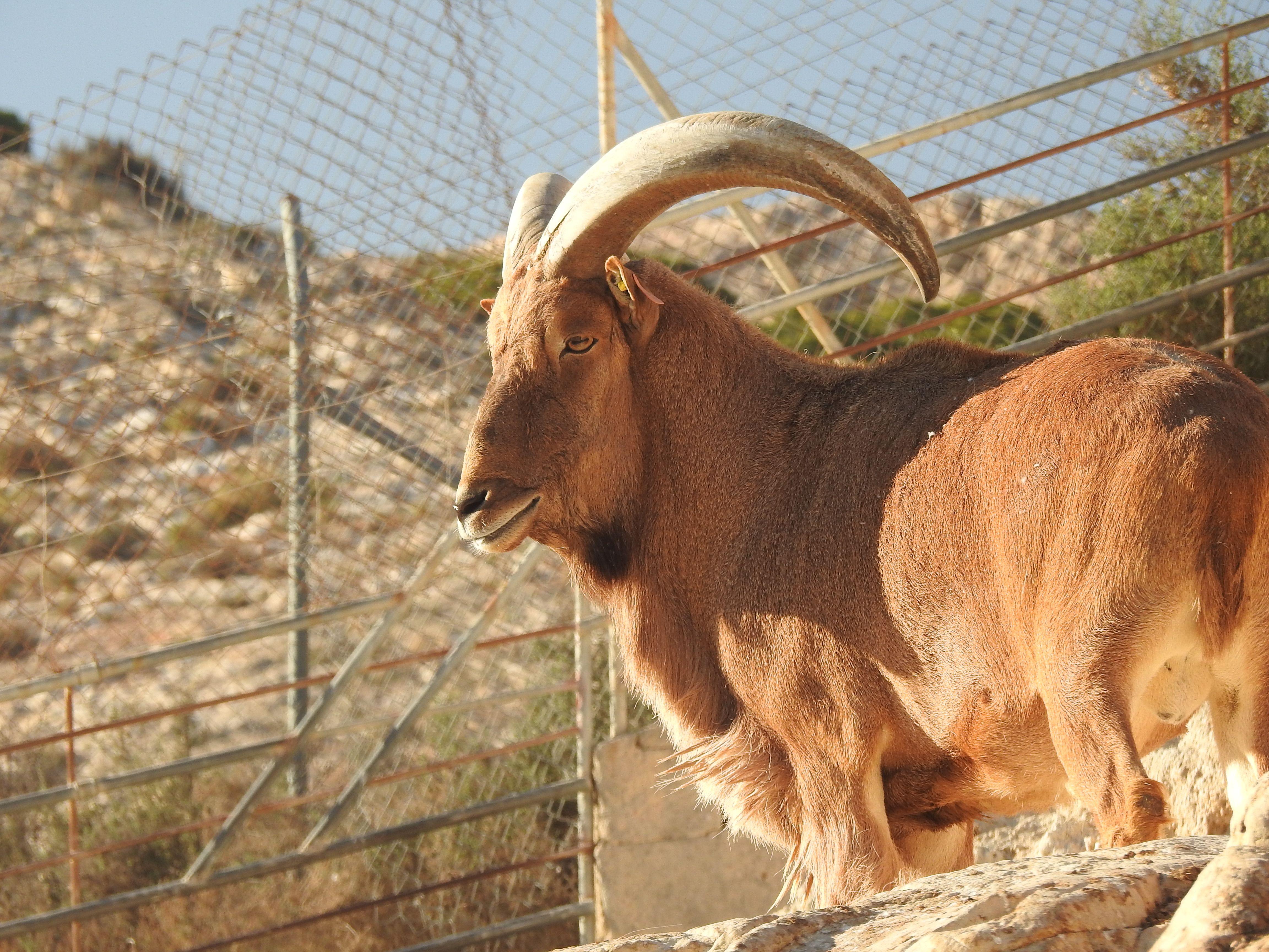 imagen de Arrui sahariano macho, en la Finca Experimental de La Hoya. Foto: Jorge Cassinello EEZA-CSIC