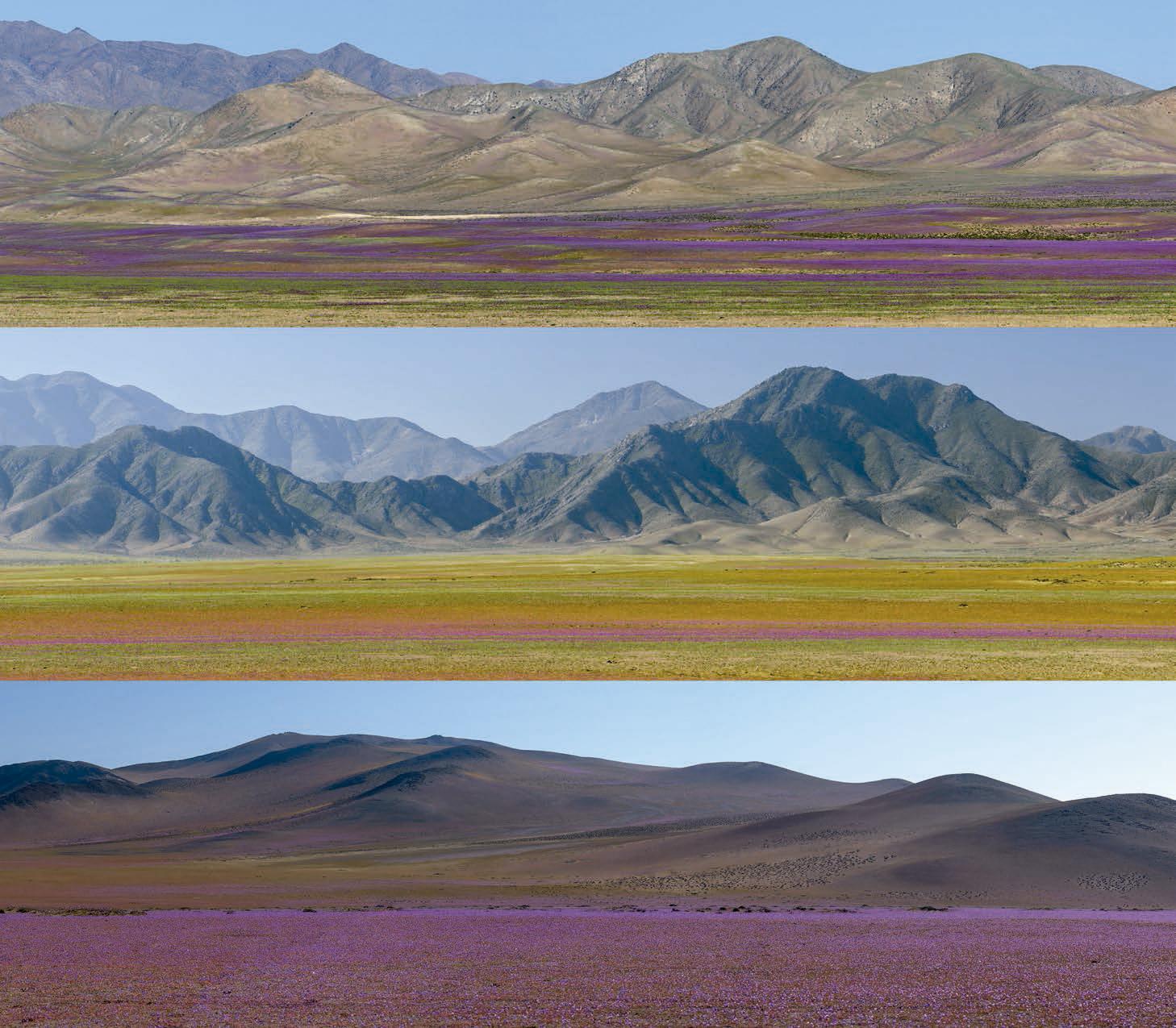 imagen de El 'desierto florido' es uno de los fenómenos más llamativos que suceden en Atacama. Solo algunos años, y en zonas diferentes, la superficie se transforma en un campo de flores de distintas especies que dura varios meses. / Gerhard Hüdepohl