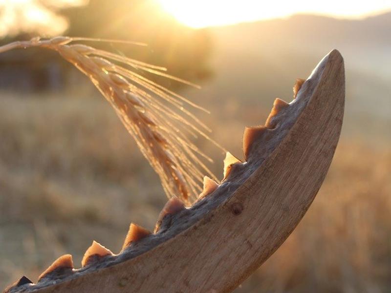 imagen de Reproducción de una hoz neolítica con dientes de sílex insertos en un mango de madera. / Niccolò Mazzuco