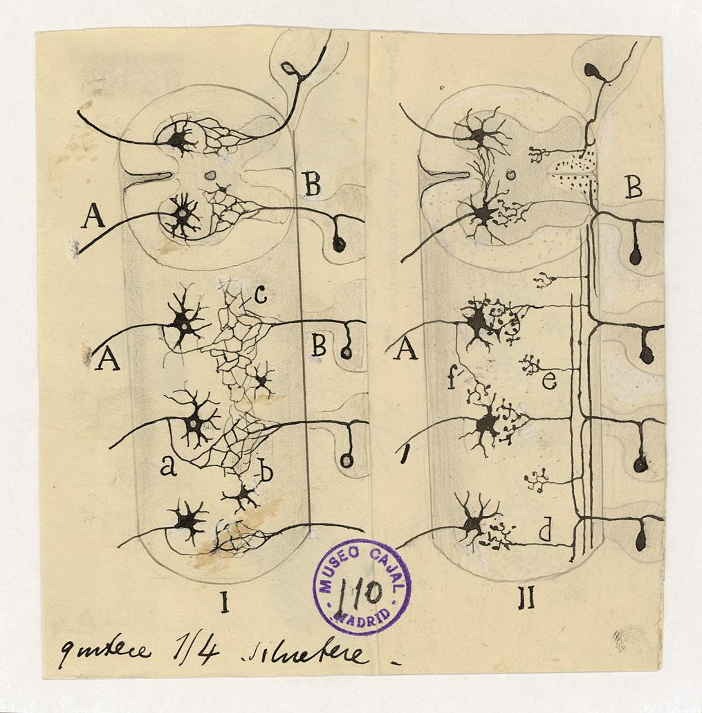 Dibujo de Cajal que explica las diferencias entre la doctrina neuronal y la reticular