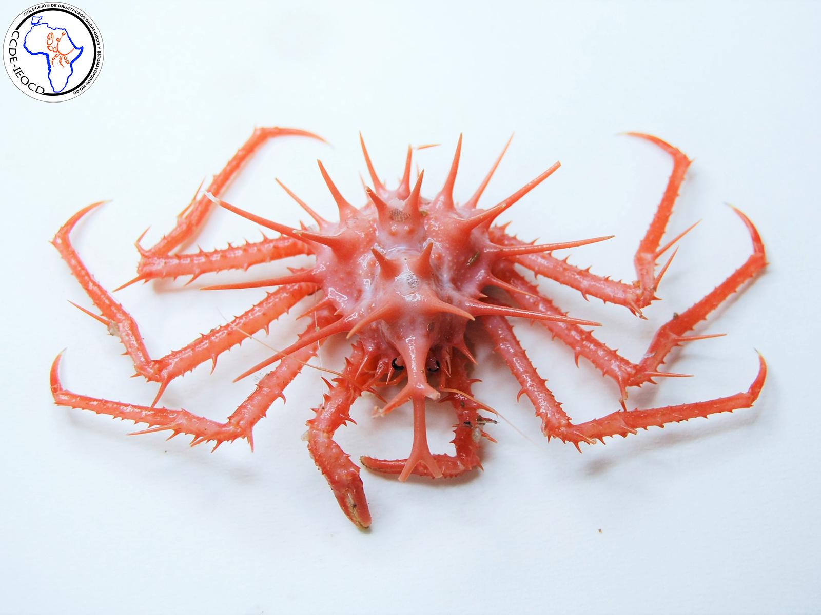 imagen de Lithodes mamillifer. / Instituto Español de Oceanografía