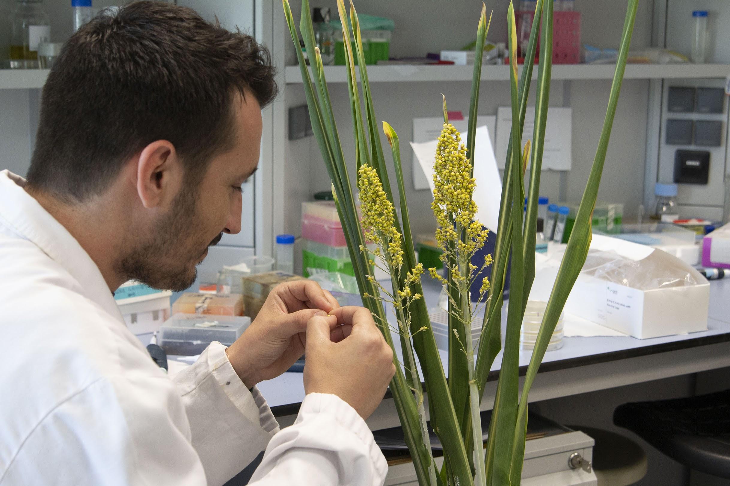 Un investigador recoge semillas de sorgo en su laboratorio./ CRAG