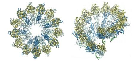 imagen de Vistas del modelo atómico del complejo en anillo de gamma-tubulina (γTuRC) de la levadura, formado por la unión en espiral de siete subunidades del complejo pequeño de gamma-tubulina (γTuSCs).