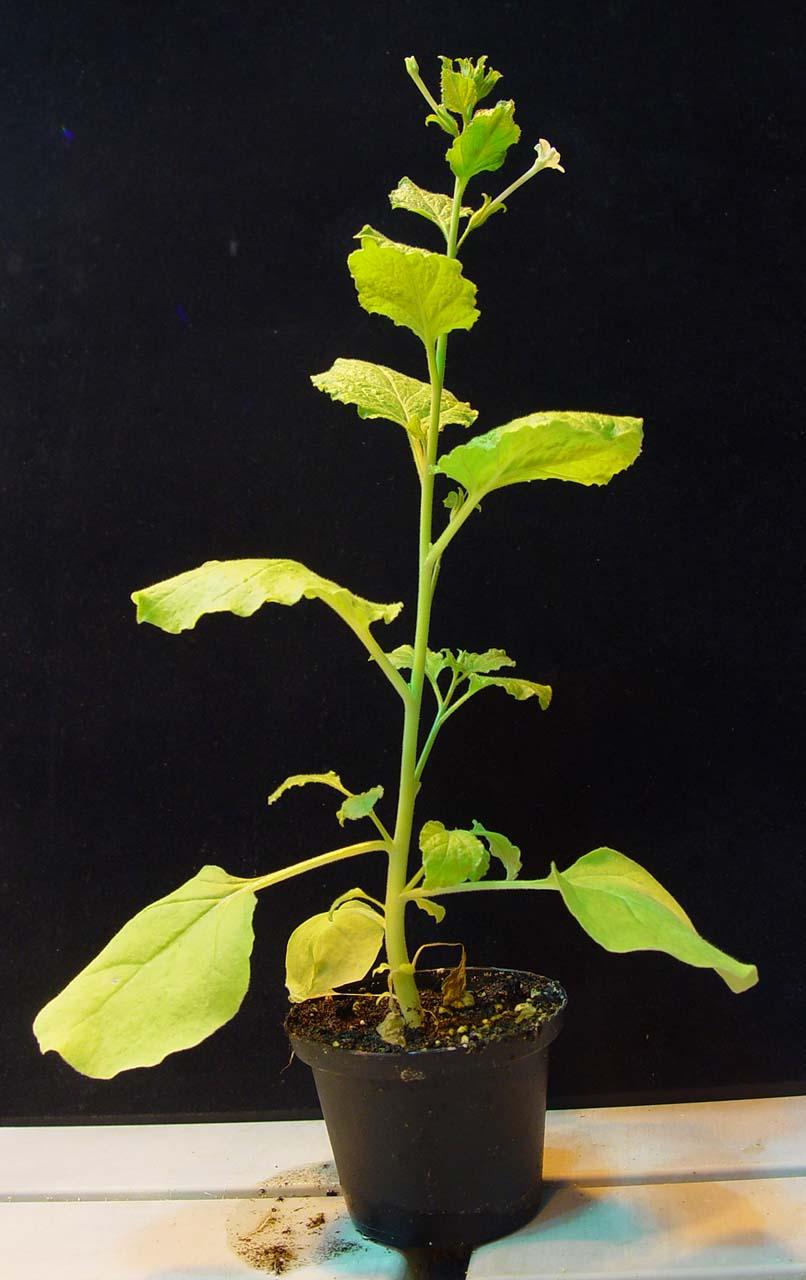 imagen de Ejemplar de 'Nicotiana benthamiana'. WC