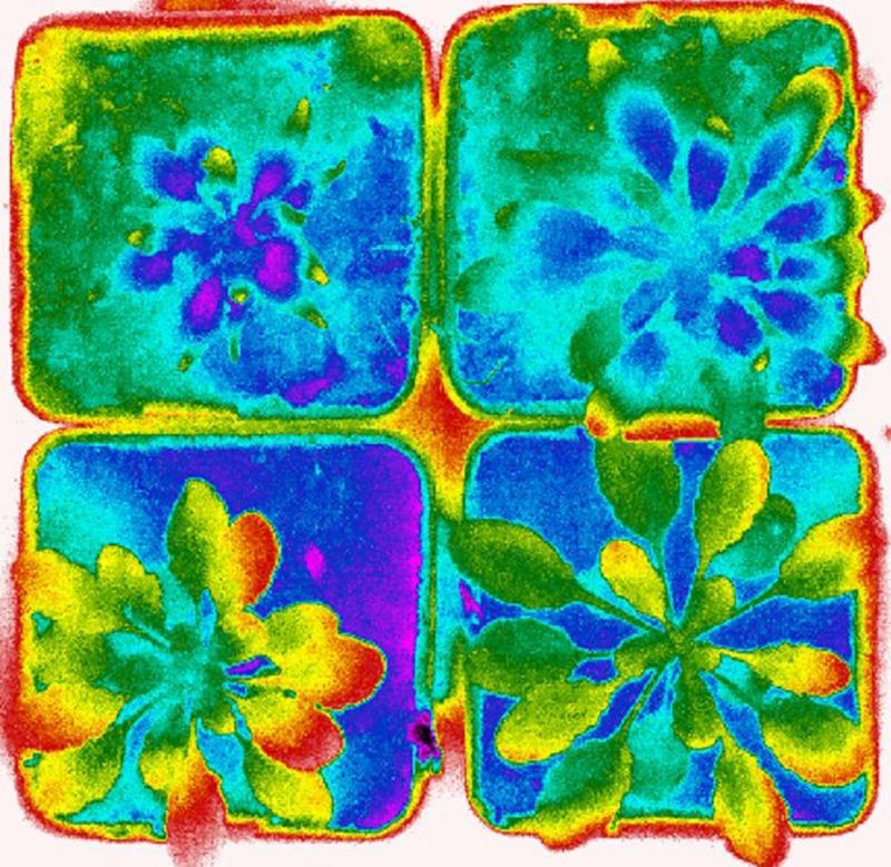 Plantas usadas en el estudio vistas al infrarrojo./ CNB-CSIC