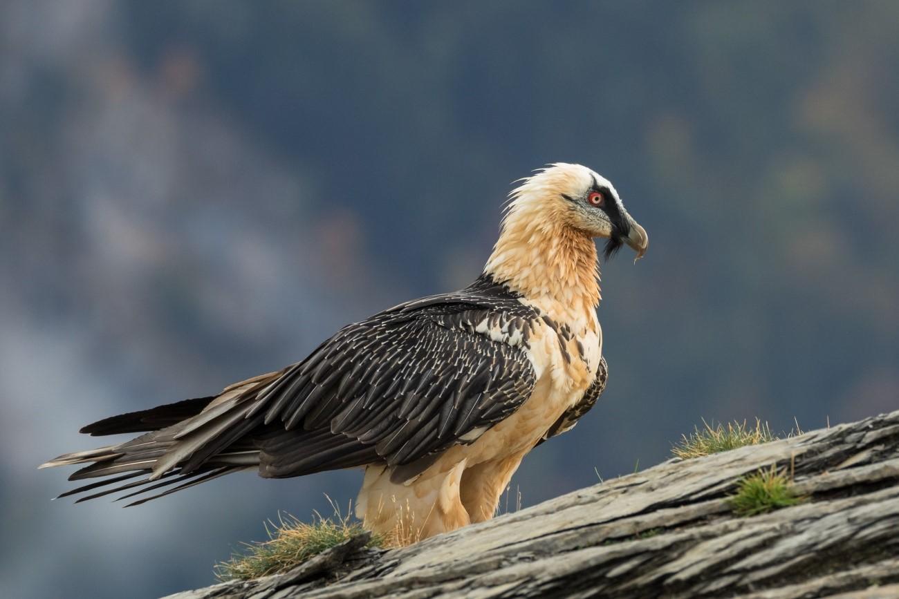Los quebrantahuesos son una de las aves más amenazadas de Europa./ PILAR OLIVA VIDAL
