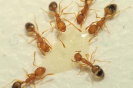 Ejemplares de hormiga faraón. / Wikimedia Commons