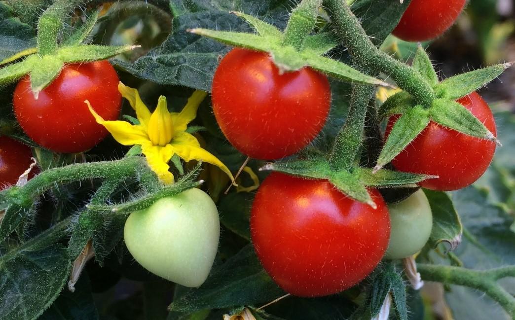 imagen de En la maduración, el tomate pasa de un color verde (debido a las clorofilas de la fotosíntesis) a rojo por los carotenoides que se acumulan en el cromoplasto. Manuel Rodríguez-Concepción / IBMCP, CSIC-UPV